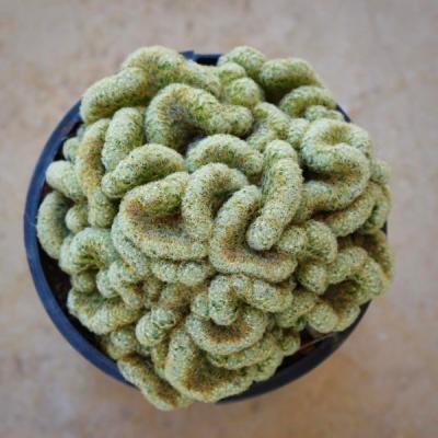 Cactus Cerebro