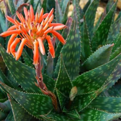 Aloe (aloe Saponaria)