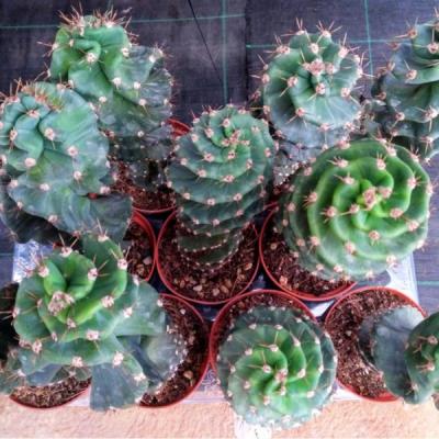 Cactus Espiralado
