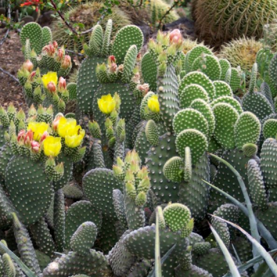 Opuntia Microdasys V. Alba
