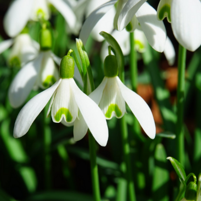 Galanthus O Campanilla De Invierno