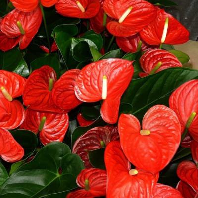 Anturio O Flor Del Amor