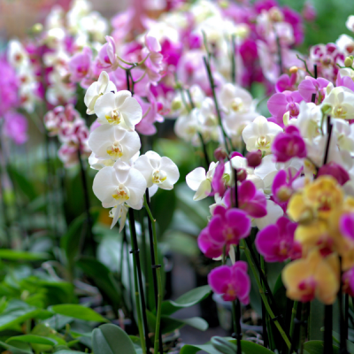 Orquidea Phaleanopsis