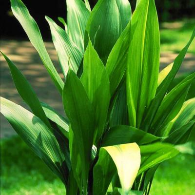 Aspidistra (hojas De Salón)