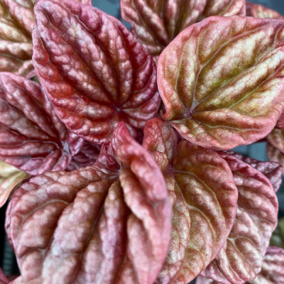 Peperomia Pink