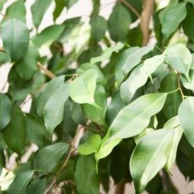 Ficus Bocha