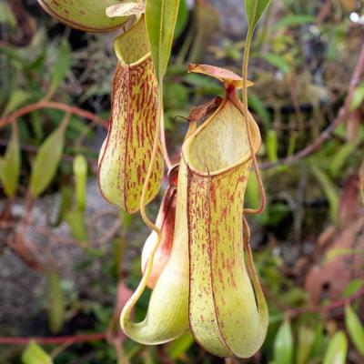 Planta Carnívora Nepenthes
