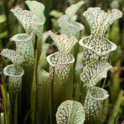 Planta Carnívora Serracenia