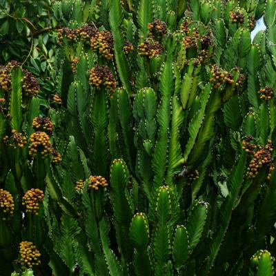 Euphorbia Trigona