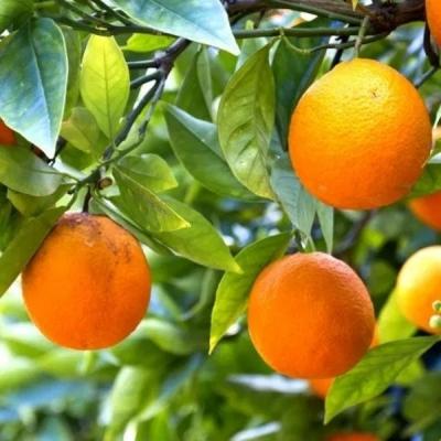 Árbol De Naranjas