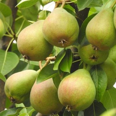 Árbol De Pera